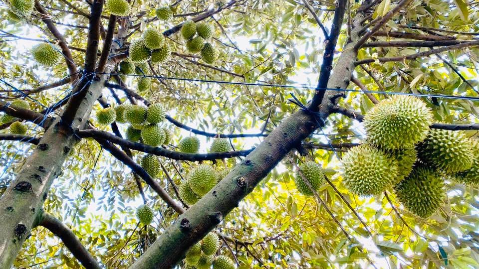 Cây sầu riêng trĩu quả